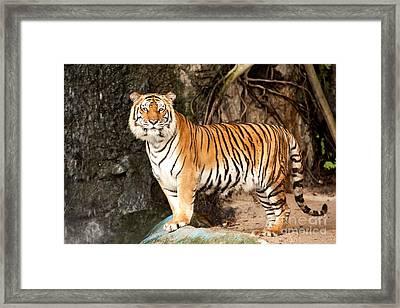 Royal Bengal Tiger Framed Print by Anek Suwannaphoom