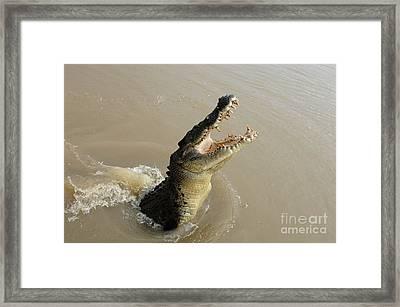 Salt Water Crocodile 2 Framed Print by Bob Christopher