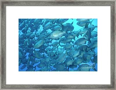 School Of Cortez Sea Chub Fishes Framed Print by Sami Sarkis