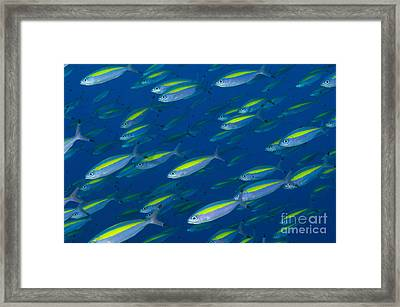 School Of Wide-band Fusilier Fish Framed Print by Steve Jones