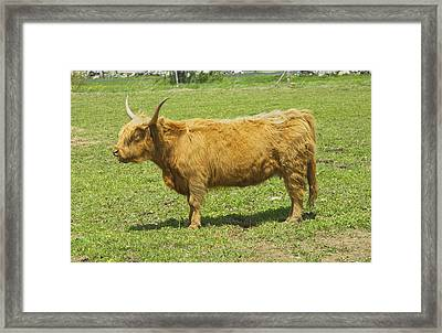 Scottish Highland Cow In Farm Field Maine Framed Print by Keith Webber Jr