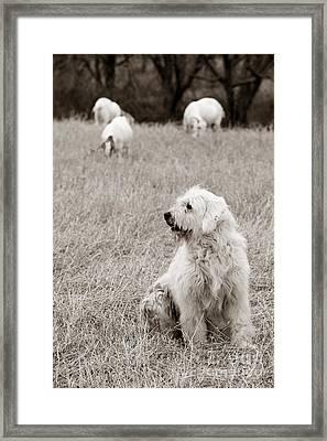 Sheepdog Framed Print by David  Rusch