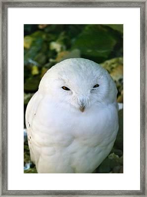 Snowy Owl Framed Print by Design Windmill