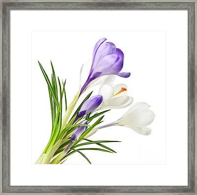 Spring Crocus Flowers Framed Print by Elena Elisseeva