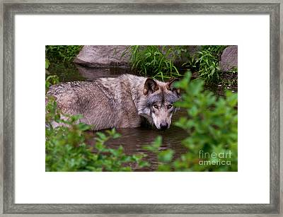 Staying Cool Framed Print by Michael Cummings