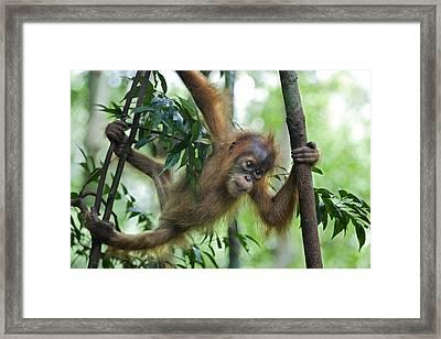 Sumatran Orangutan Baby  Framed Print by Suzi Eszterhas