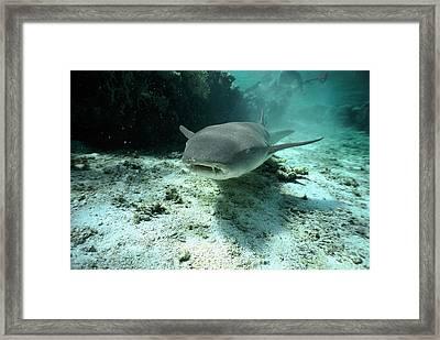 Tawny Nurse Shark Nebrius Ferrugineus Framed Print by Mike Parry