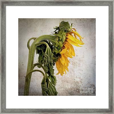 Textured Sunflower Framed Print by Bernard Jaubert