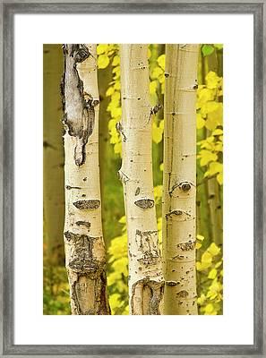 Three Autumn Aspens Framed Print by James BO  Insogna