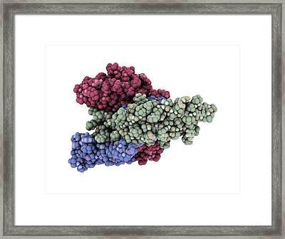 Thyroid-stimulating Hormone Molecule Framed Print by Laguna Design