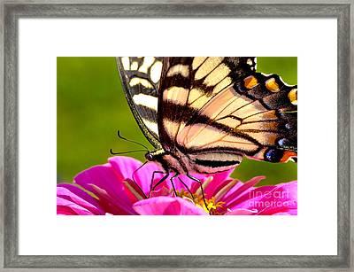 Tiger Swallowtail On Zinnia Framed Print by Thomas R Fletcher
