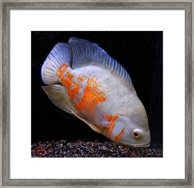 Tropical Fish  Framed Print by Colette V Hera  Guggenheim