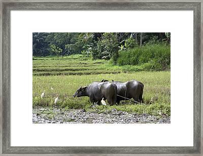 Water Buffalo Framed Print by Jane Rix