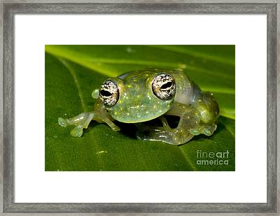 White Spotted Glass Frog Framed Print by Dante Fenolio