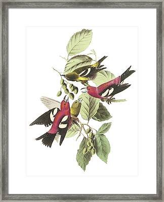 White-winged Crossbill Framed Print by John James Audubon
