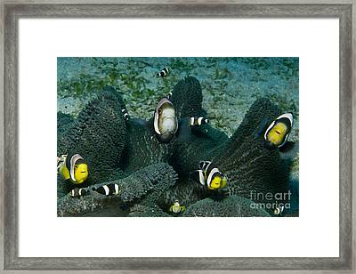 Whole Family Of Clownfish In Dark Grey Framed Print by Mathieu Meur
