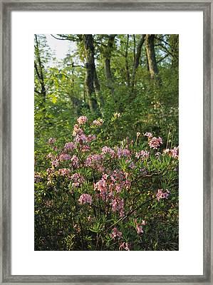 Wild Azaleas Grow On Ravens Roost Framed Print by Raymond Gehman