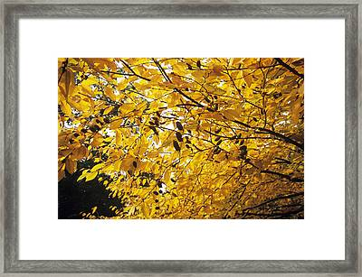 Yellow Birch (betula Alleghaniensis) Framed Print by Adrian Thomas