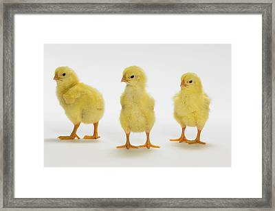 Yellow Chicks. Baby Chickens Framed Print by Thomas Kitchin & Victoria Hurst