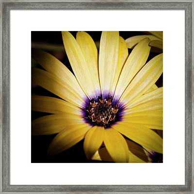 Yellow Daisy Framed Print by David Patterson