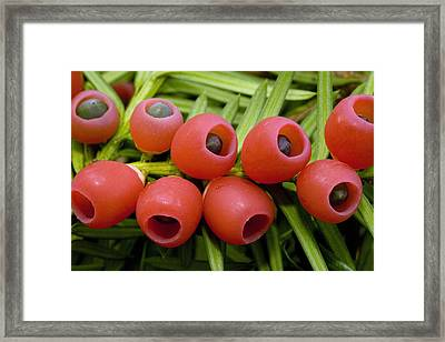 Yew Tree Berries (taxus Baccata) Framed Print by Bob Gibbons