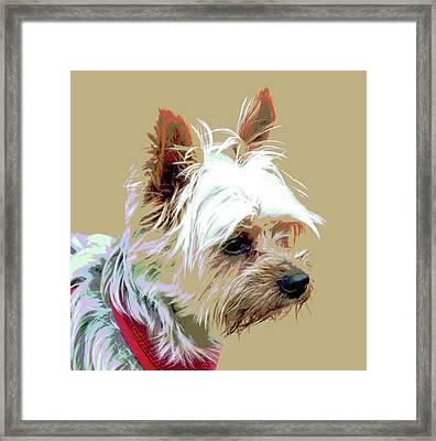 Yorkshire Terrier Framed Print by Dorrie Pelzer