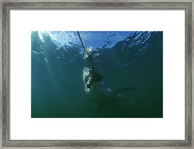 Great White Shark Framed Print by Alexis Rosenfeld