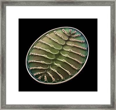 Diatom Alga, Sem Framed Print by Steve Gschmeissner