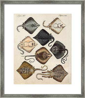 1795 Decorative Marine Rays Illustration Framed Print by Paul D Stewart