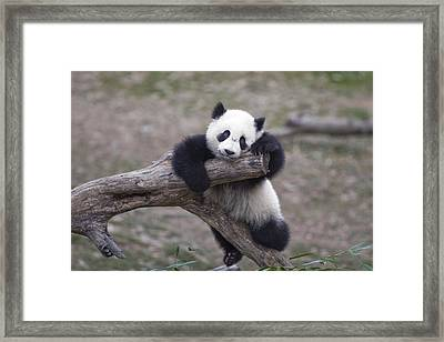 A Baby Panda Plays On A Branch Framed Print by Taylor S. Kennedy