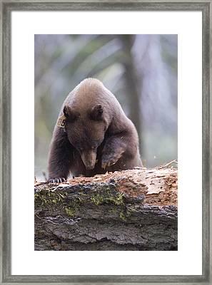 A Cinnamon Black Bear Ursus Americanus Framed Print by Rich Reid