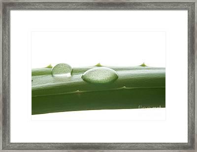 Aloe Vera Framed Print by Blink Images