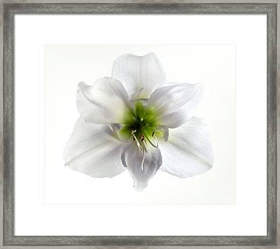 Amaryllis Framed Print by Jane Rix