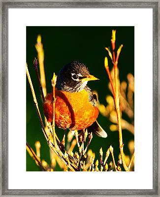American Robin Framed Print by Paul Ge