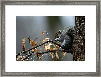 An Eastern Gray Squirrel Sciurus Framed Print by Chris Johns