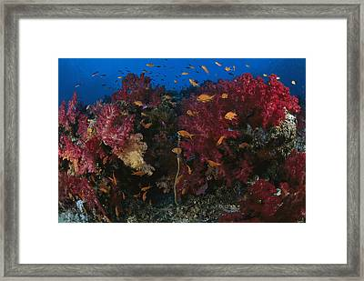Anthias Fish Swim Near A Reef Wall Framed Print by Tim Laman