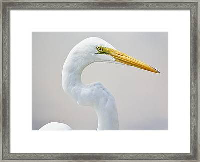 Beautiful Great White Egret Framed Print by Paulette Thomas