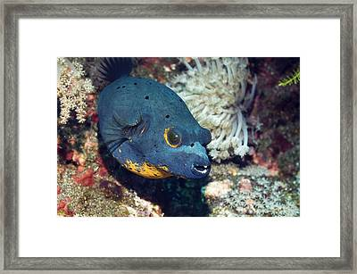Blackspotted Puffer Framed Print by Georgette Douwma