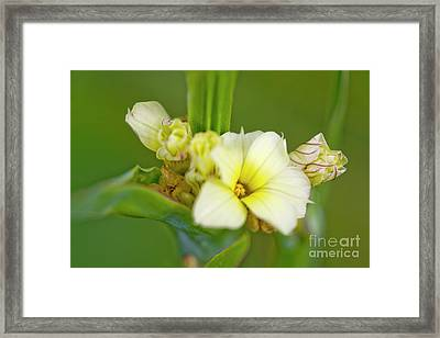 Blue-eyed Grass (sisyrinchium Striatum) Framed Print by Dr Keith Wheeler