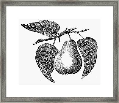 Botany: Pear Framed Print by Granger