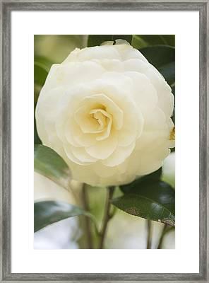 Camellia Japonica Framed Print by Maria Mosolova