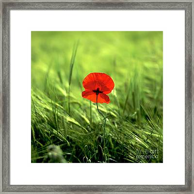 Field Of Wheat With A Solitary Poppy. Framed Print by Bernard Jaubert