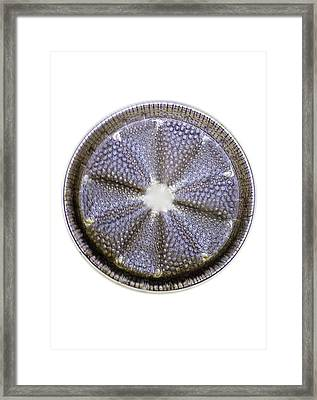 Fossil Diatom, Light Micrograph Framed Print by Frank Fox