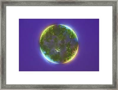 Green Alga, Light Micrograph Framed Print by Frank Fox
