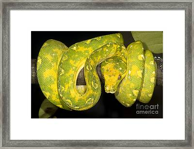 Green Tree Python Framed Print by Dante Fenolio