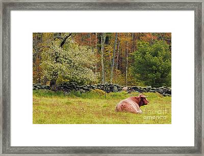 Highland Cattle Framed Print by HD Connelly
