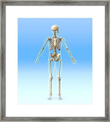 Male Skeleton, Artwork Framed Print by Roger Harris