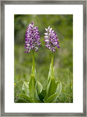 Monkey Orchid (orchis Simia) Framed Print by Bob Gibbons