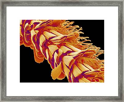 Moth Antenna Framed Print by Susumu Nishinaga