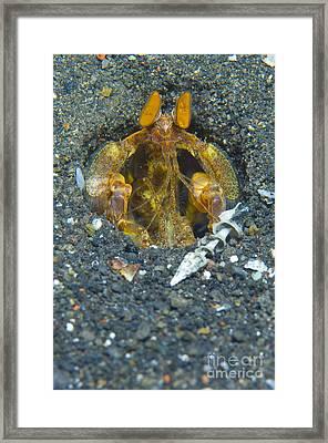 Orange Mantis Shrimp In Its Burrow Framed Print by Steve Jones